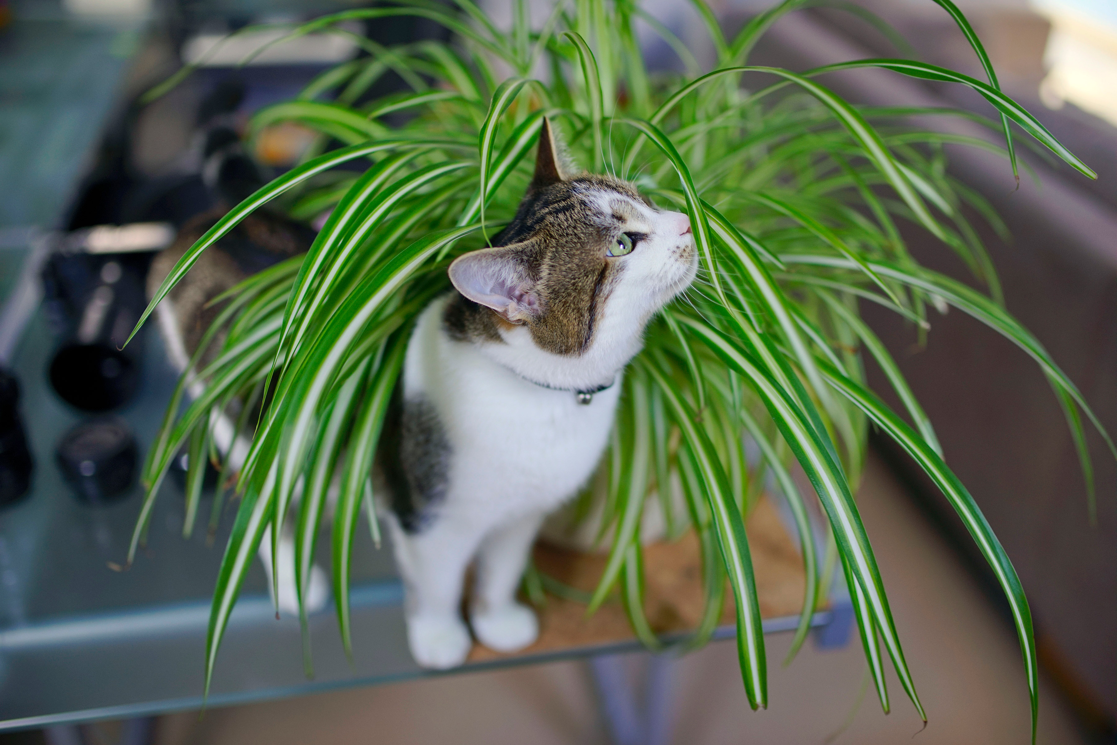 A cat sitting in a spider plant.