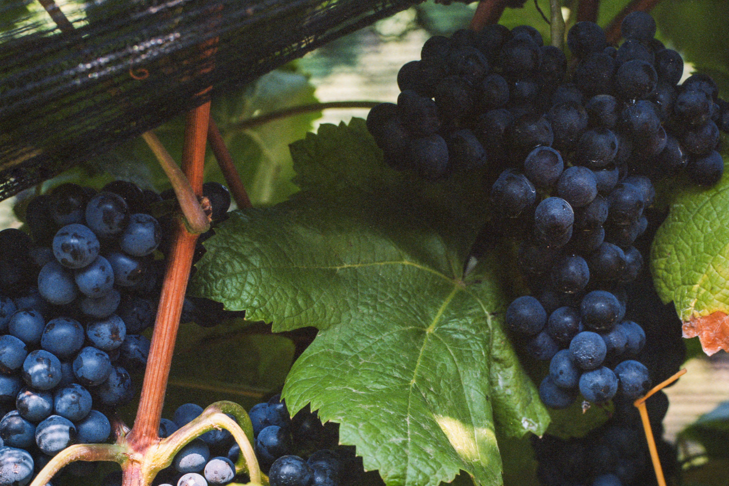 Purple grapes on the stem with big green leaves.