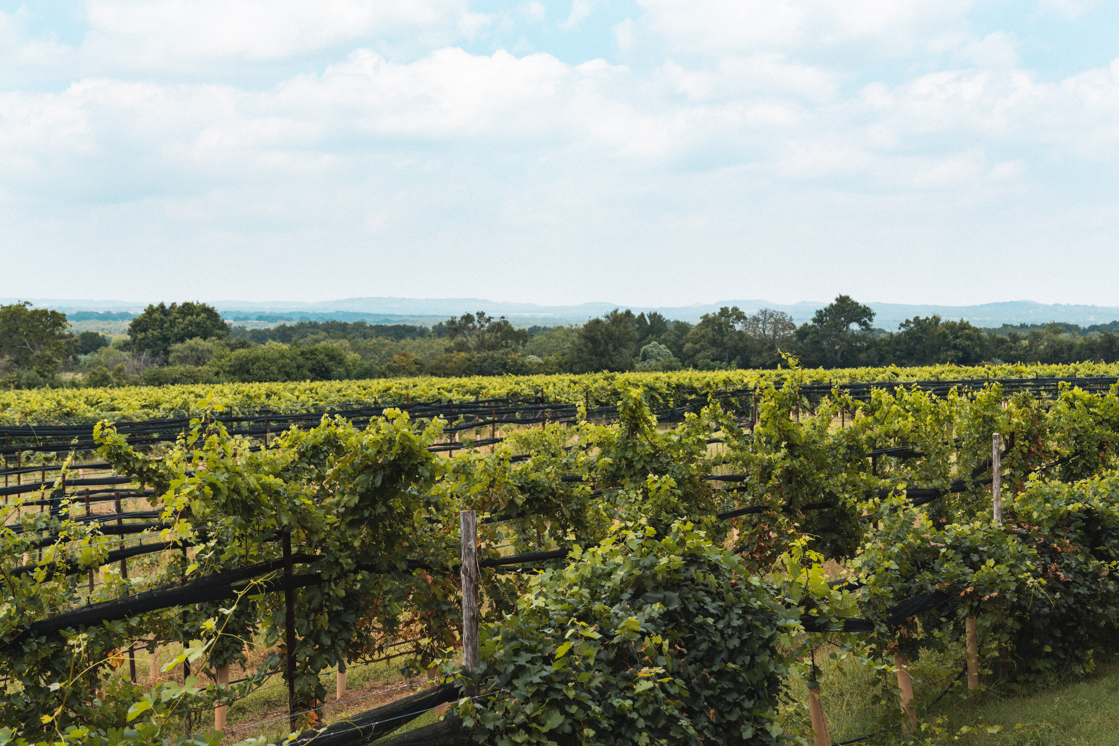 A wide shot of tows of green grapevines.