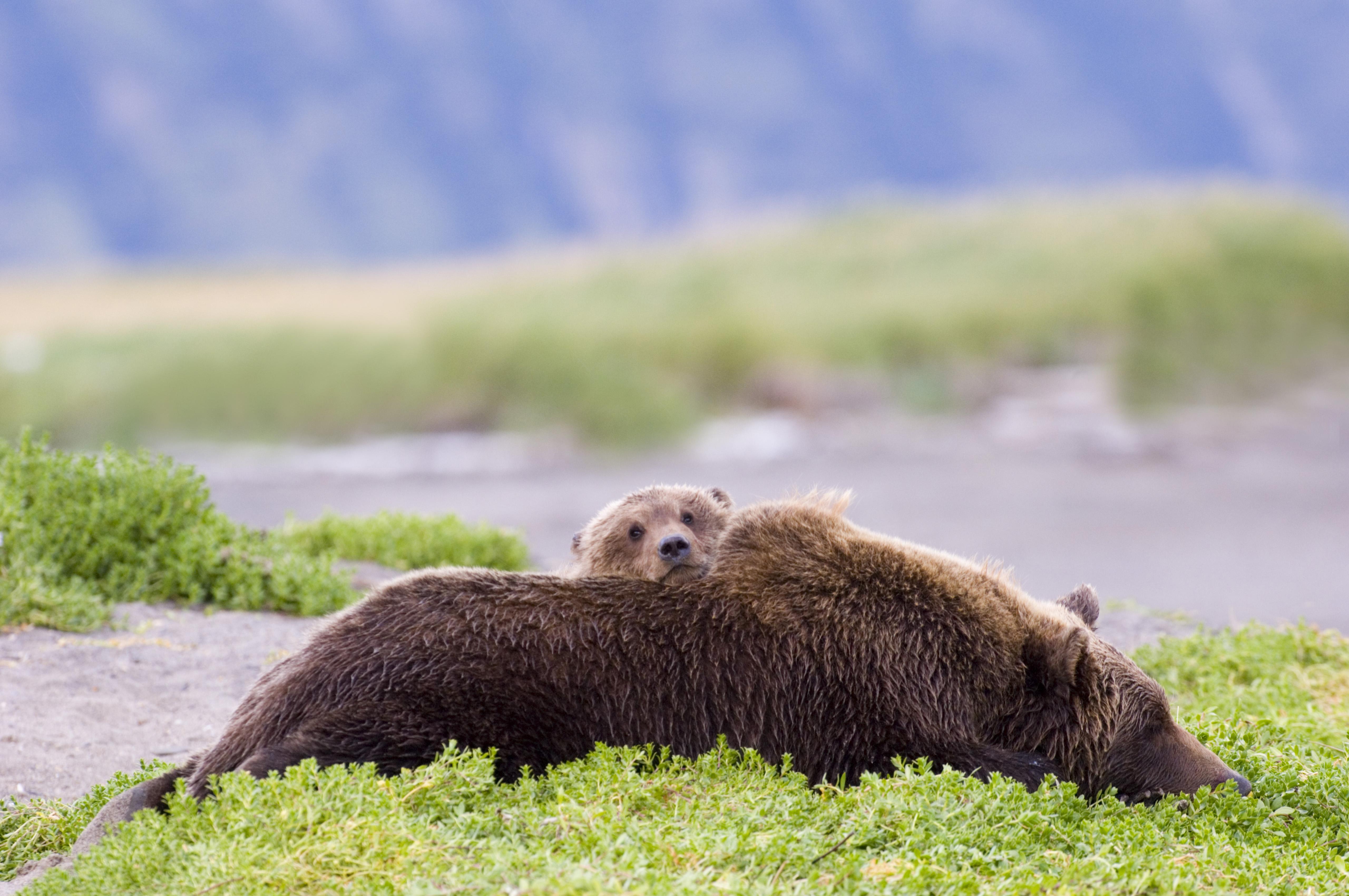 Brown Bear mother with cub, Ursos arctos, Katmai Alaska