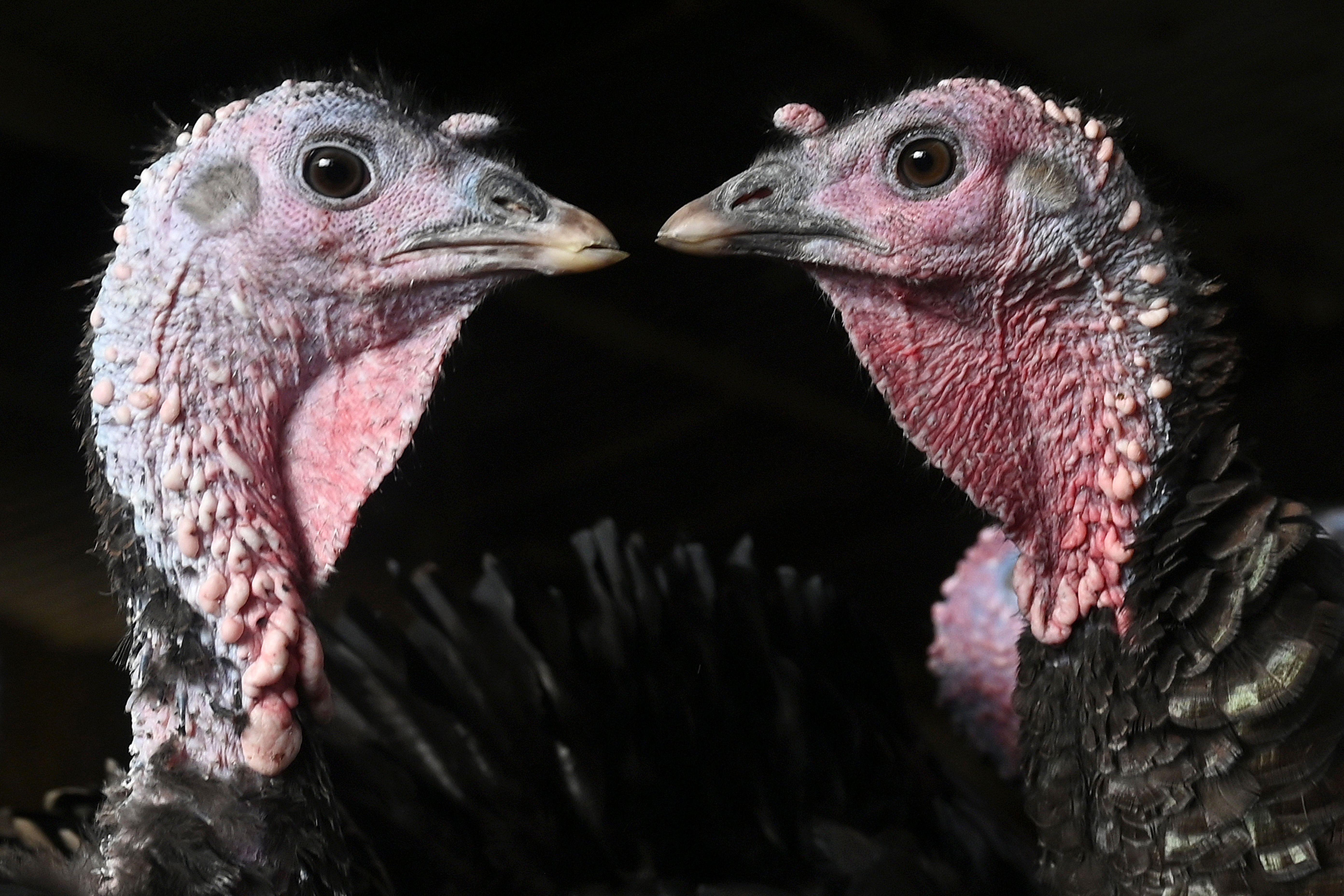 Two Bronze turkeys chilling in a field.