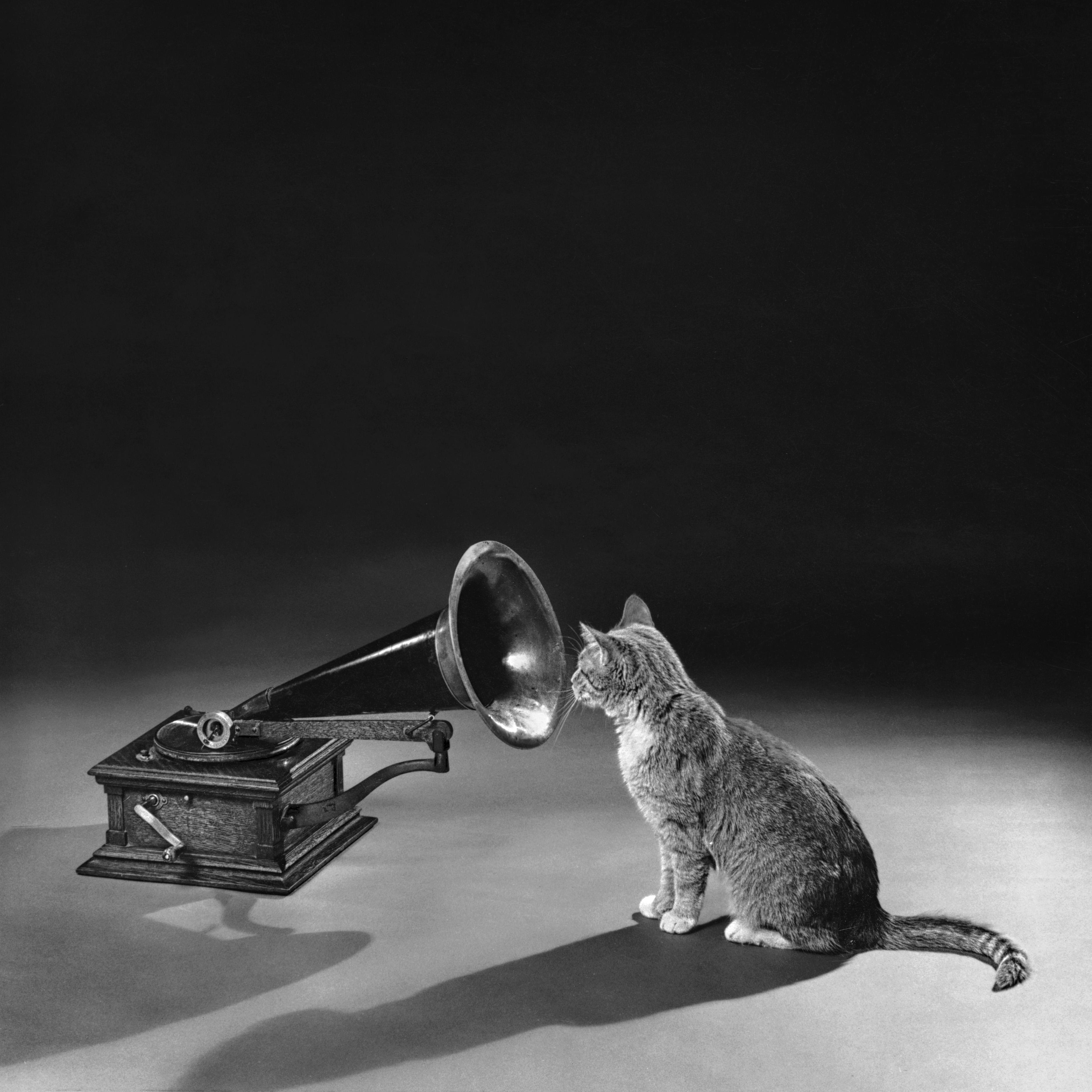 Feline Music Fan