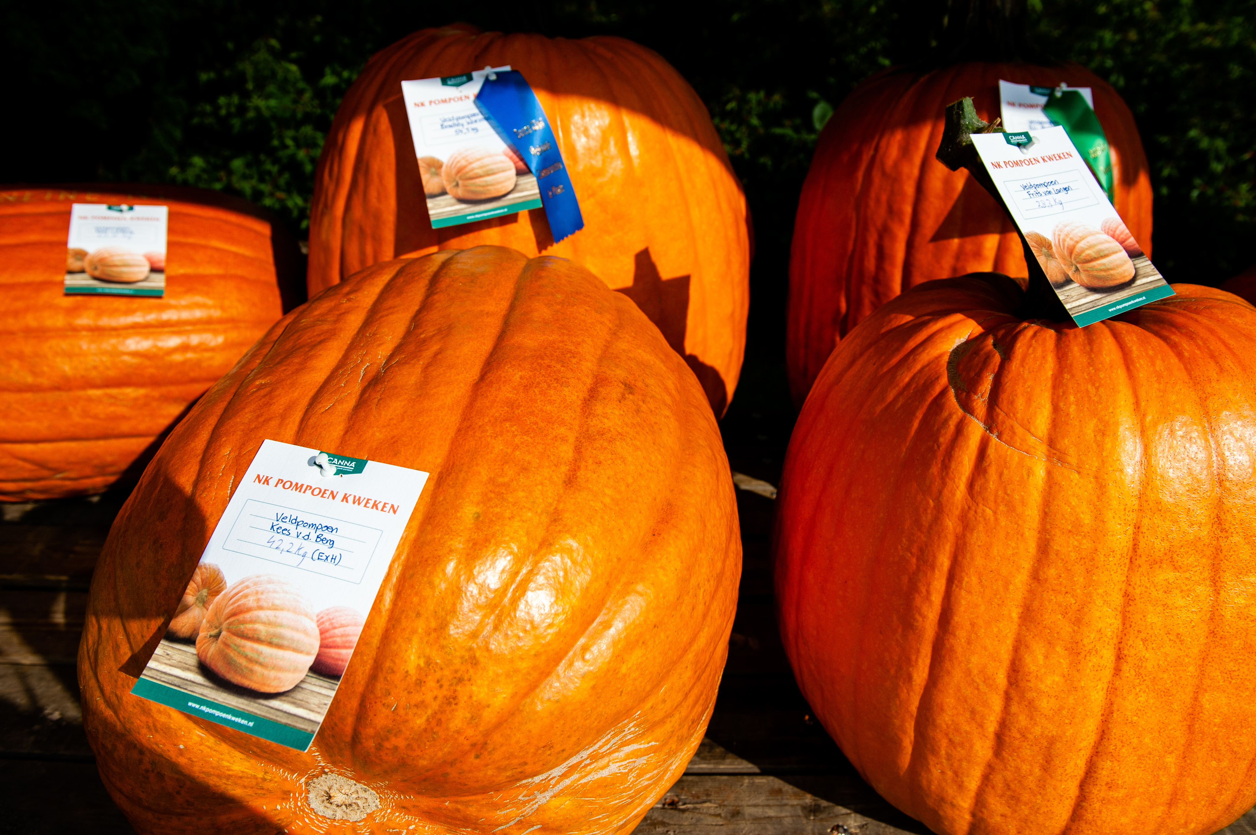A group of big pumpkins are seen on display during the...