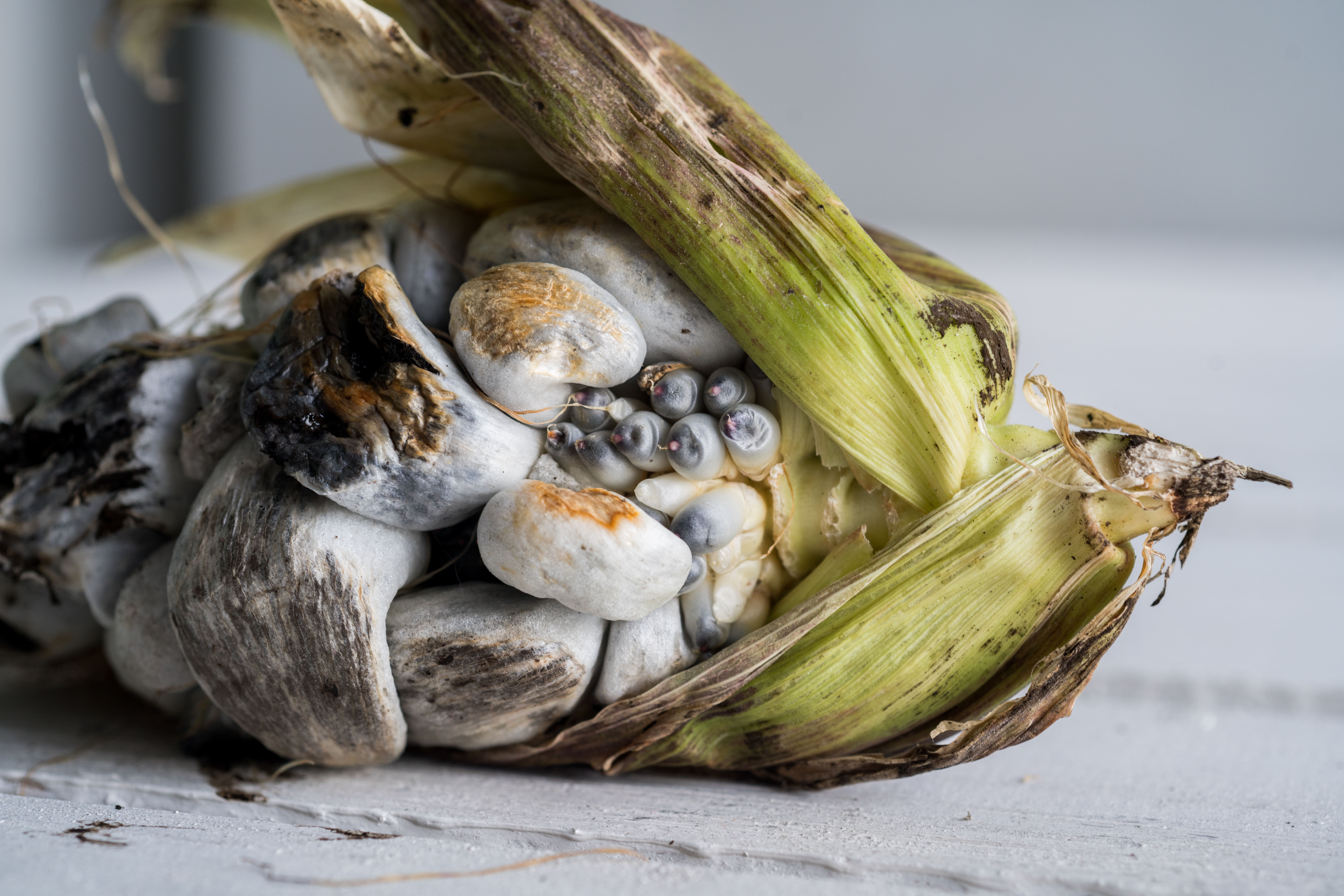 An ear of corn lays on its side, the husks almost entirely removed to reveal the  blue-grey kernels that typify huitlacoche.