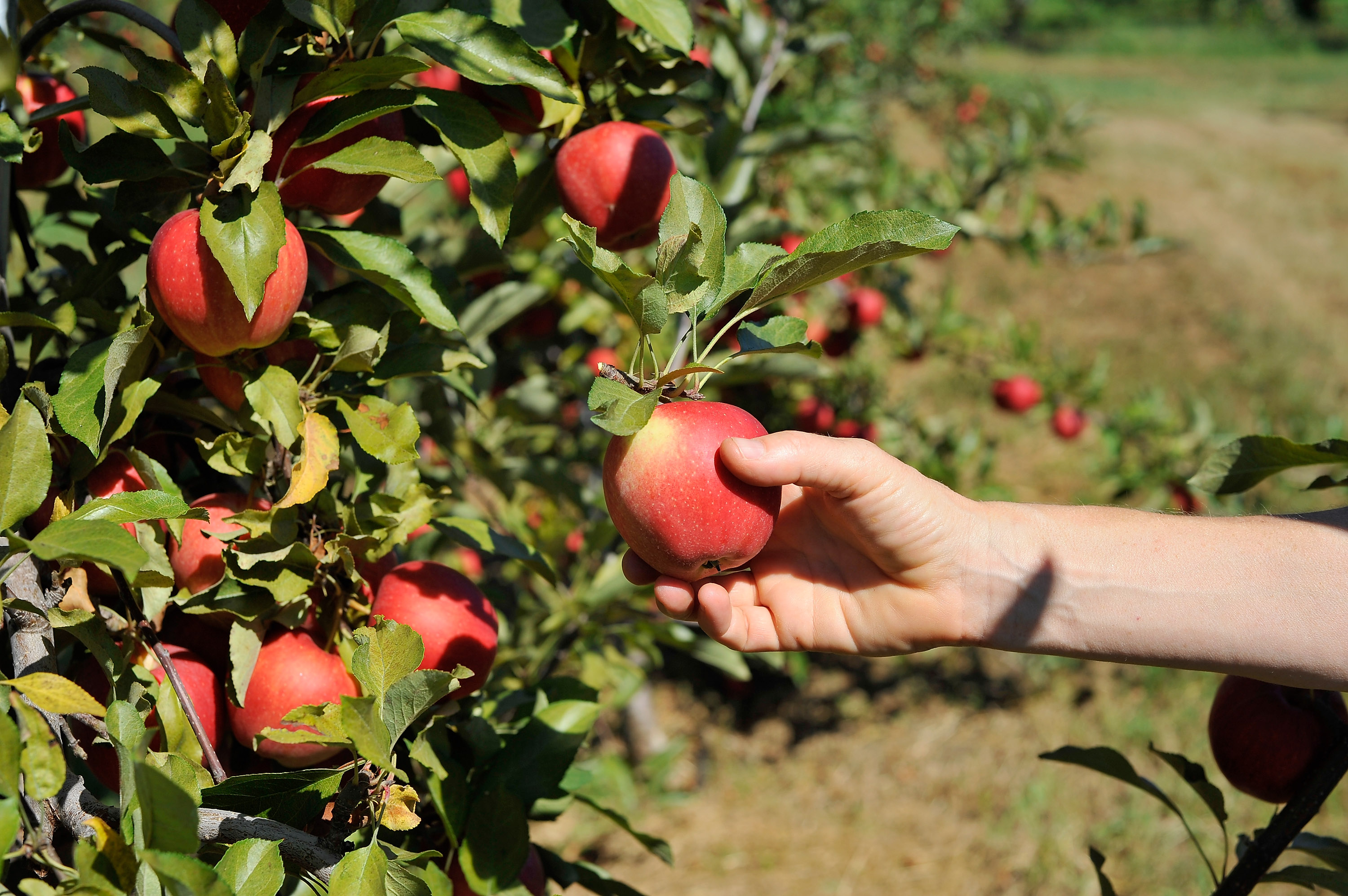 A hand picking an apple from a tree.