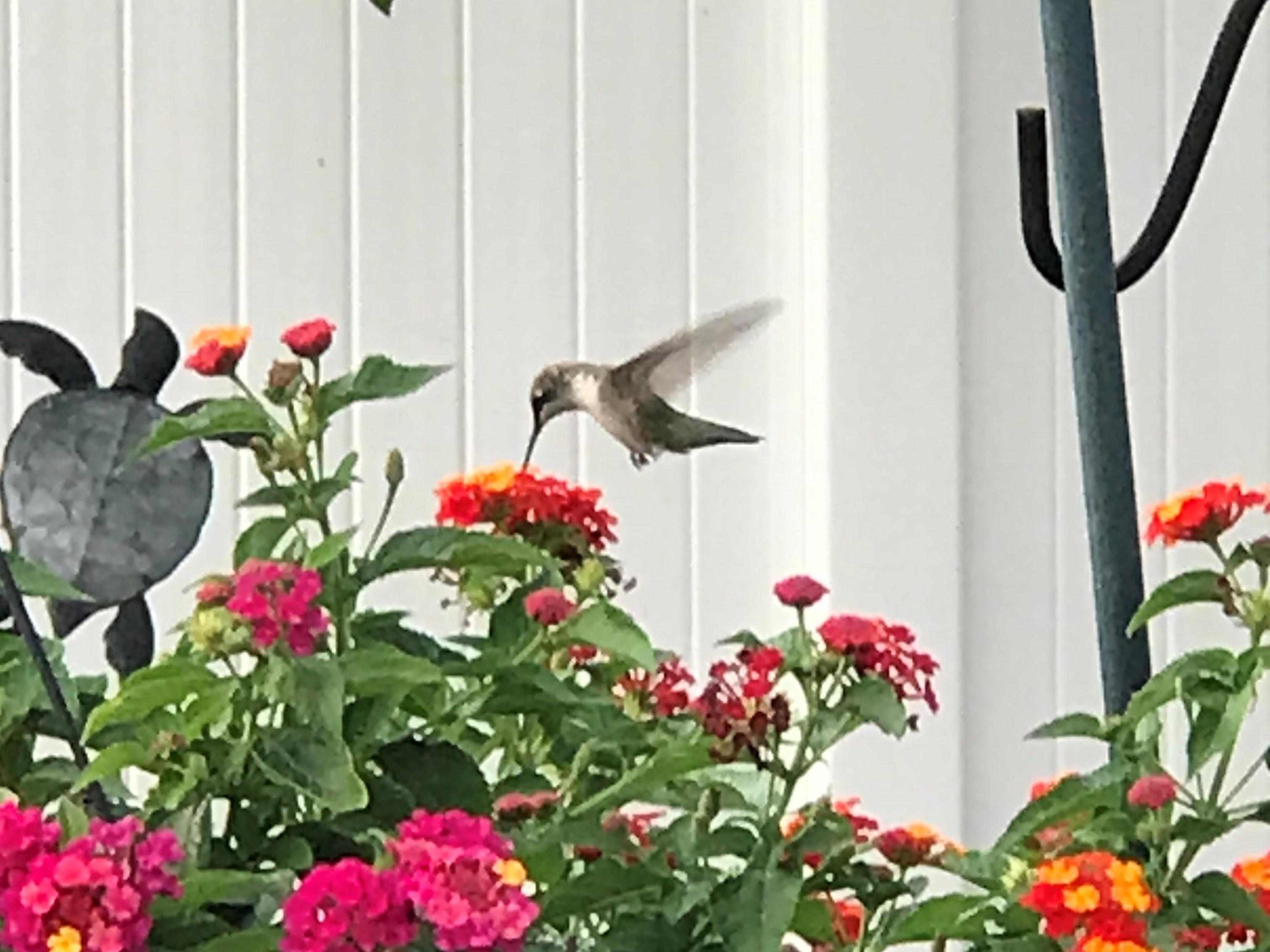 "A late-season hummingbird. Credit: Ken ""Husker"" O'Malley"