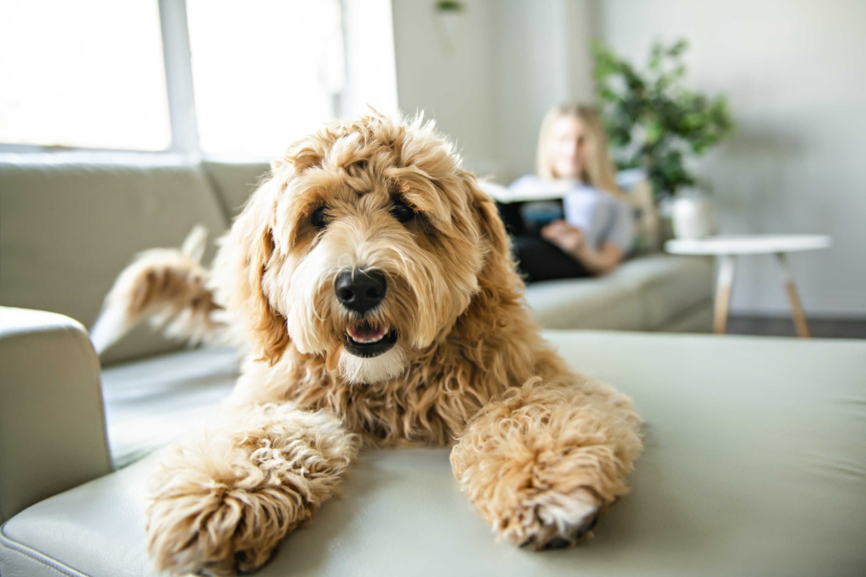 A golden labradoodle on a grey couch with a woman reading behind him.
