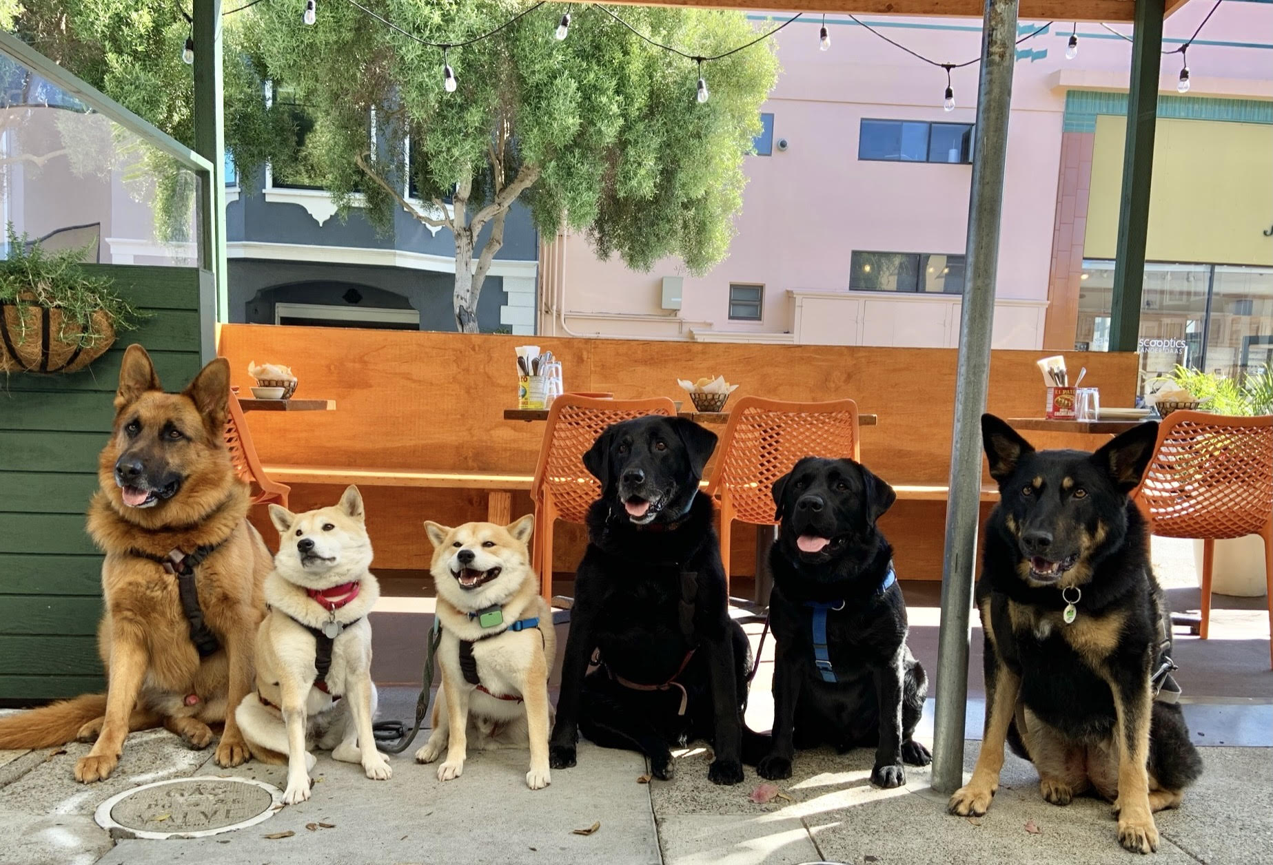 A group of dogs including a German shepherd, two shiba inus, and two black labs sit in front of a booth under umbrellas.