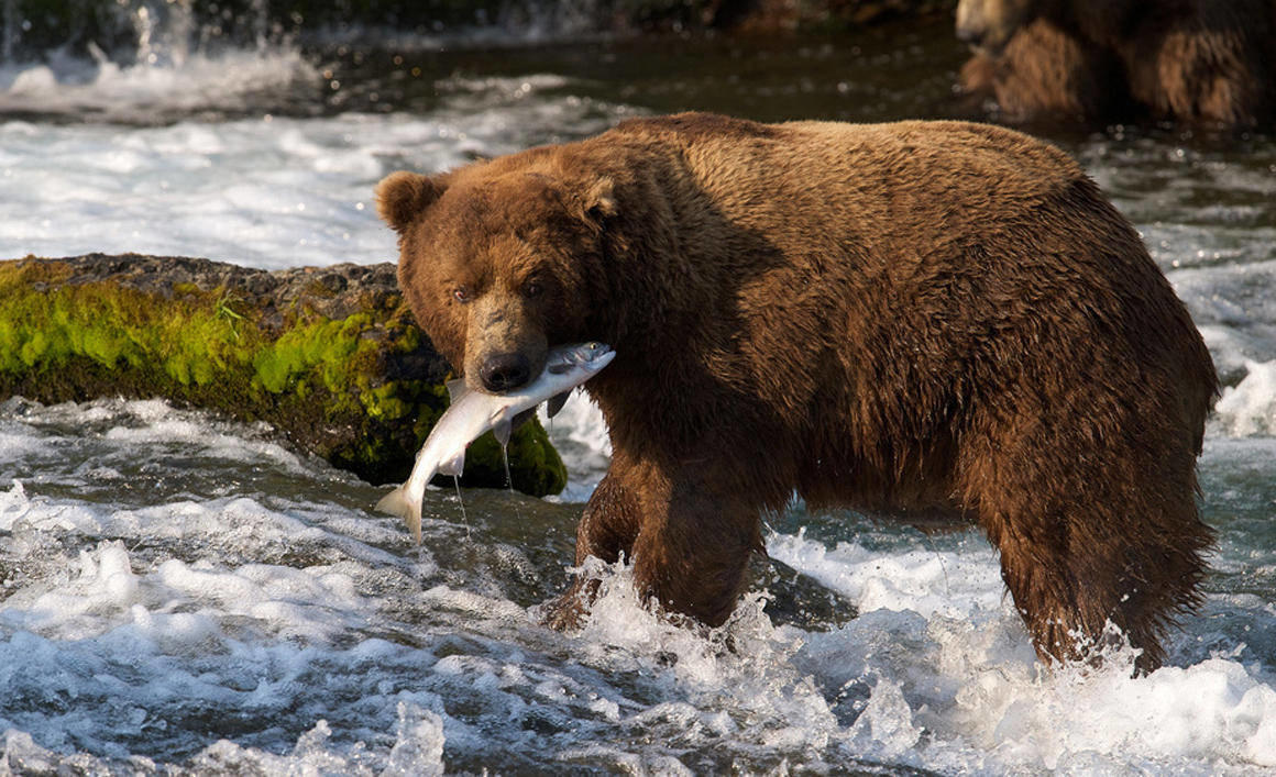 A brown bear catches a salmon at Brooks Falls, Katmai National Park in Alaska.
