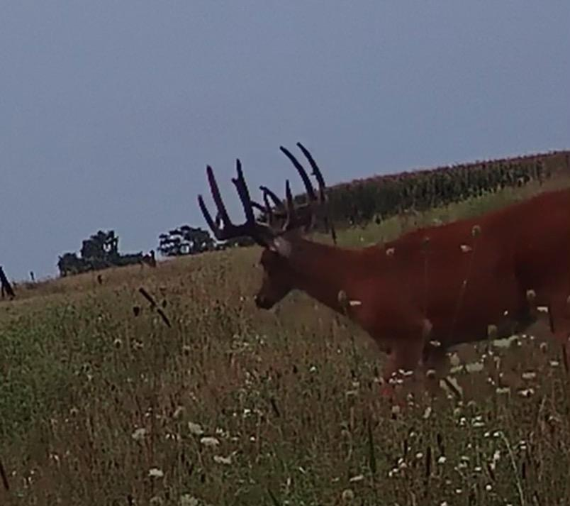 A mature Bureau County buck in a field this fall. Credit: Jim Snaidauf