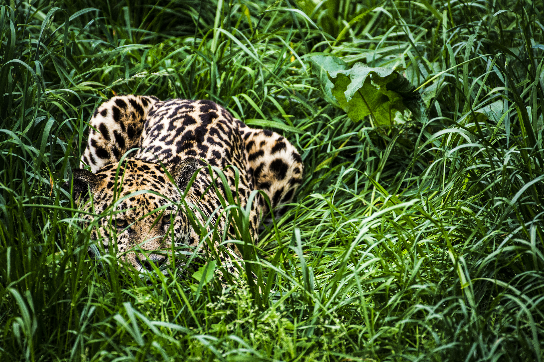 A jaguar crouching in green grass.