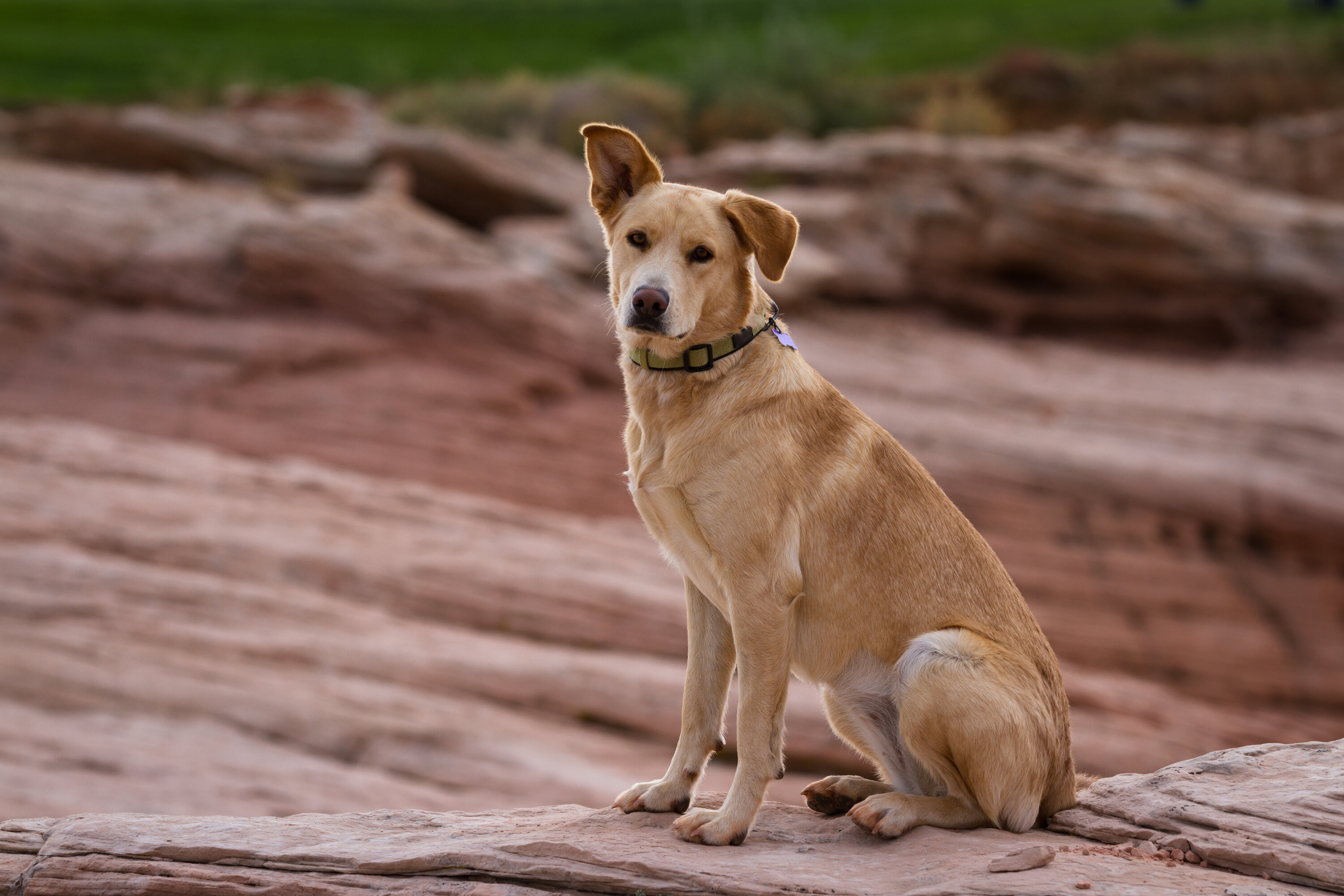 A cute large yellow/tan dog sitting on red rocks in the desert, looking at the camera with one ear up, and a dog collar on