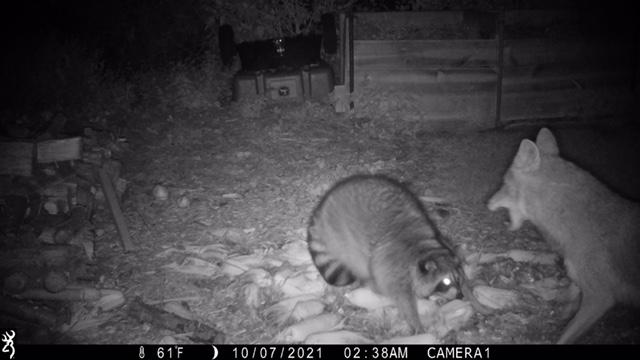 A backyard trail cam caught a coyote giving a raccoon hell. Credit: Brian DeKoatz