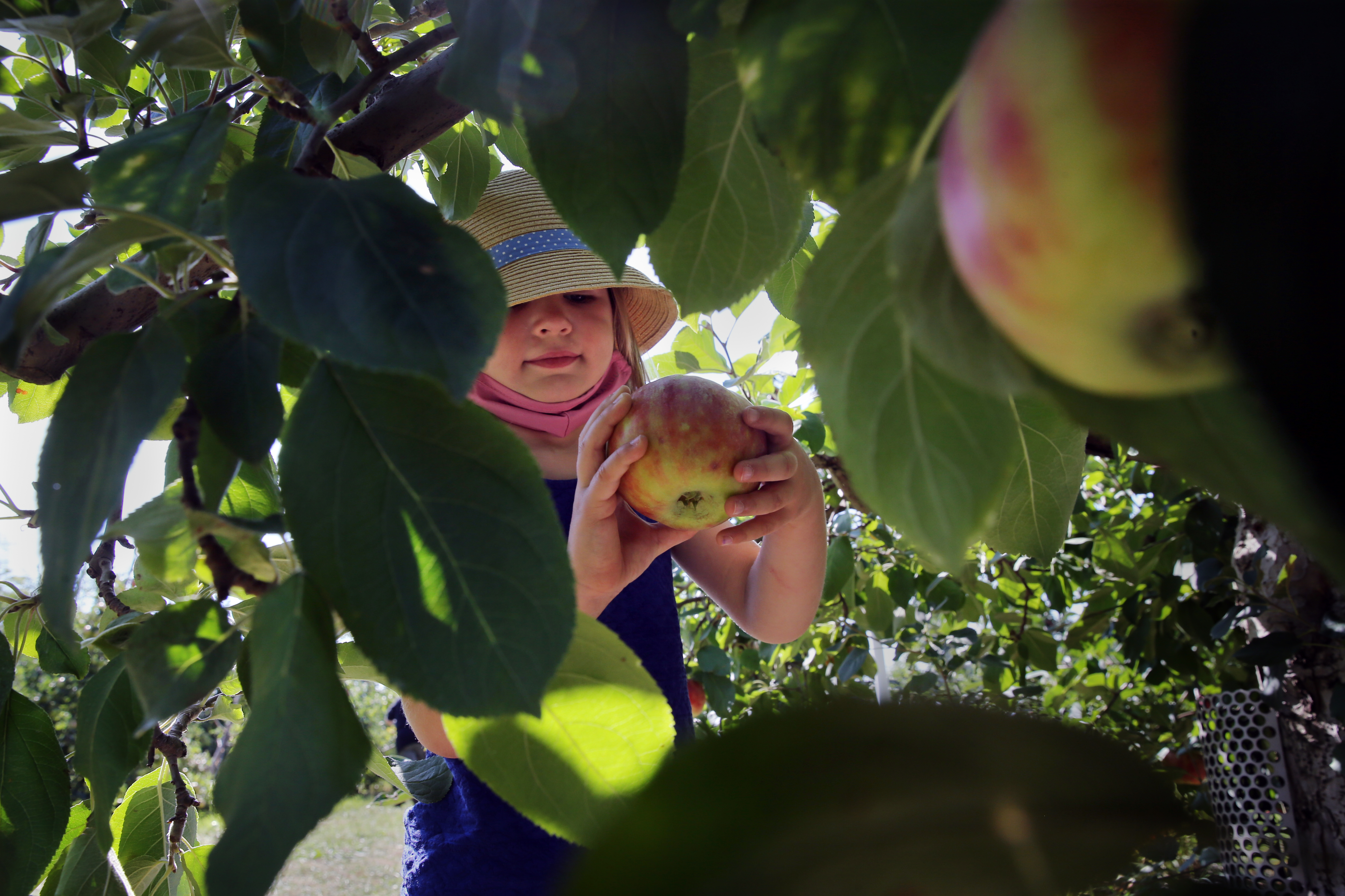 A young child wearing a hat is visible through the leaves of a tree, picking an apple on a sunny day.