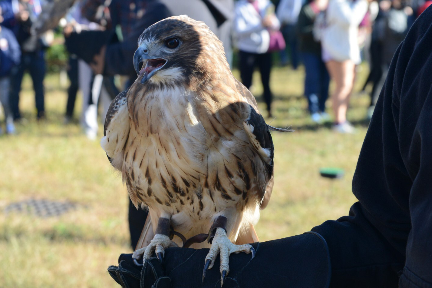 A red-tailed hawk greets crowds at bird festival Raptorama at the Jamaica Bay Wildlife Refuge, Oct. 17, 2021.