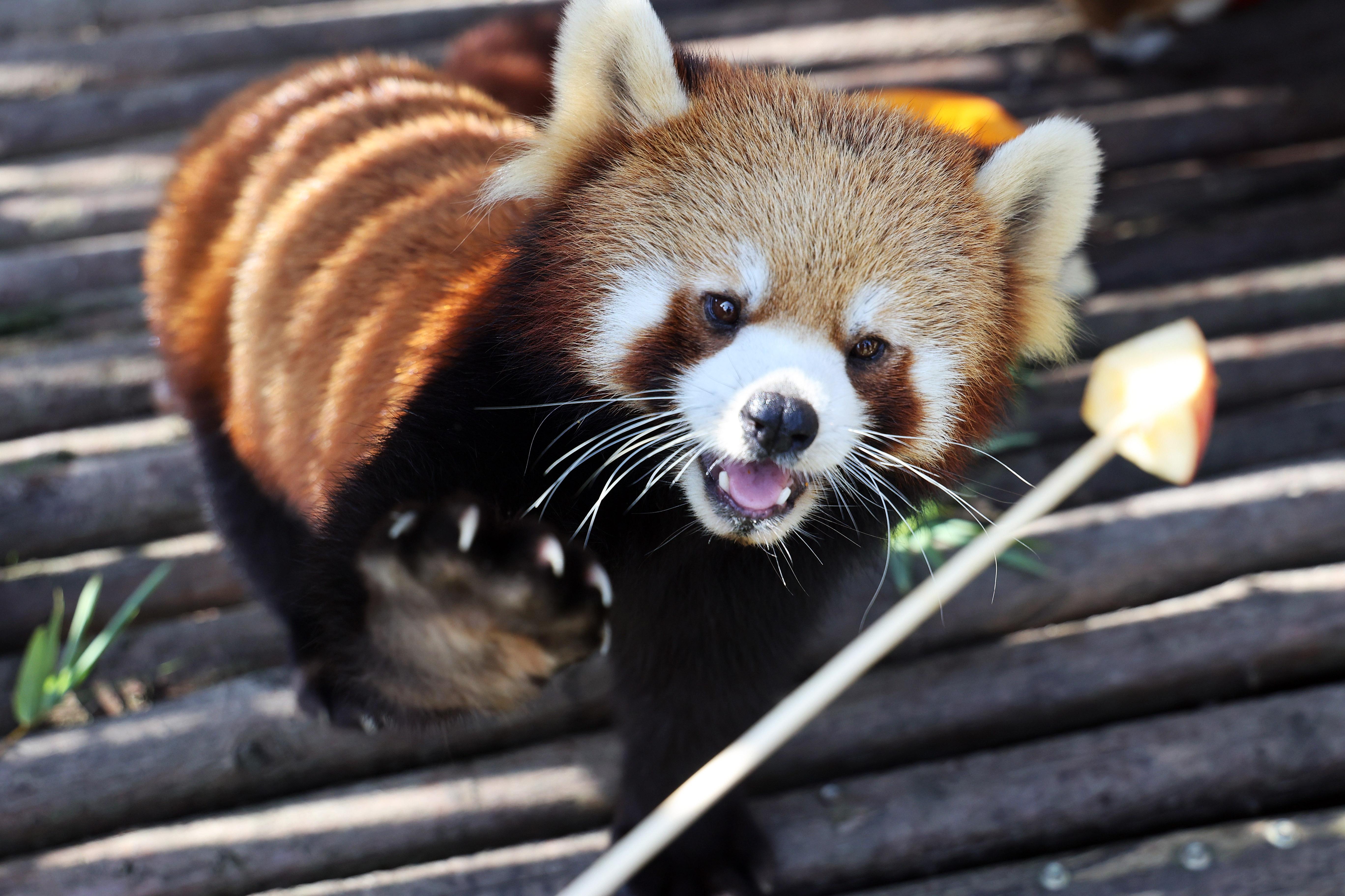 International Red Panda Day Marked In Nantong