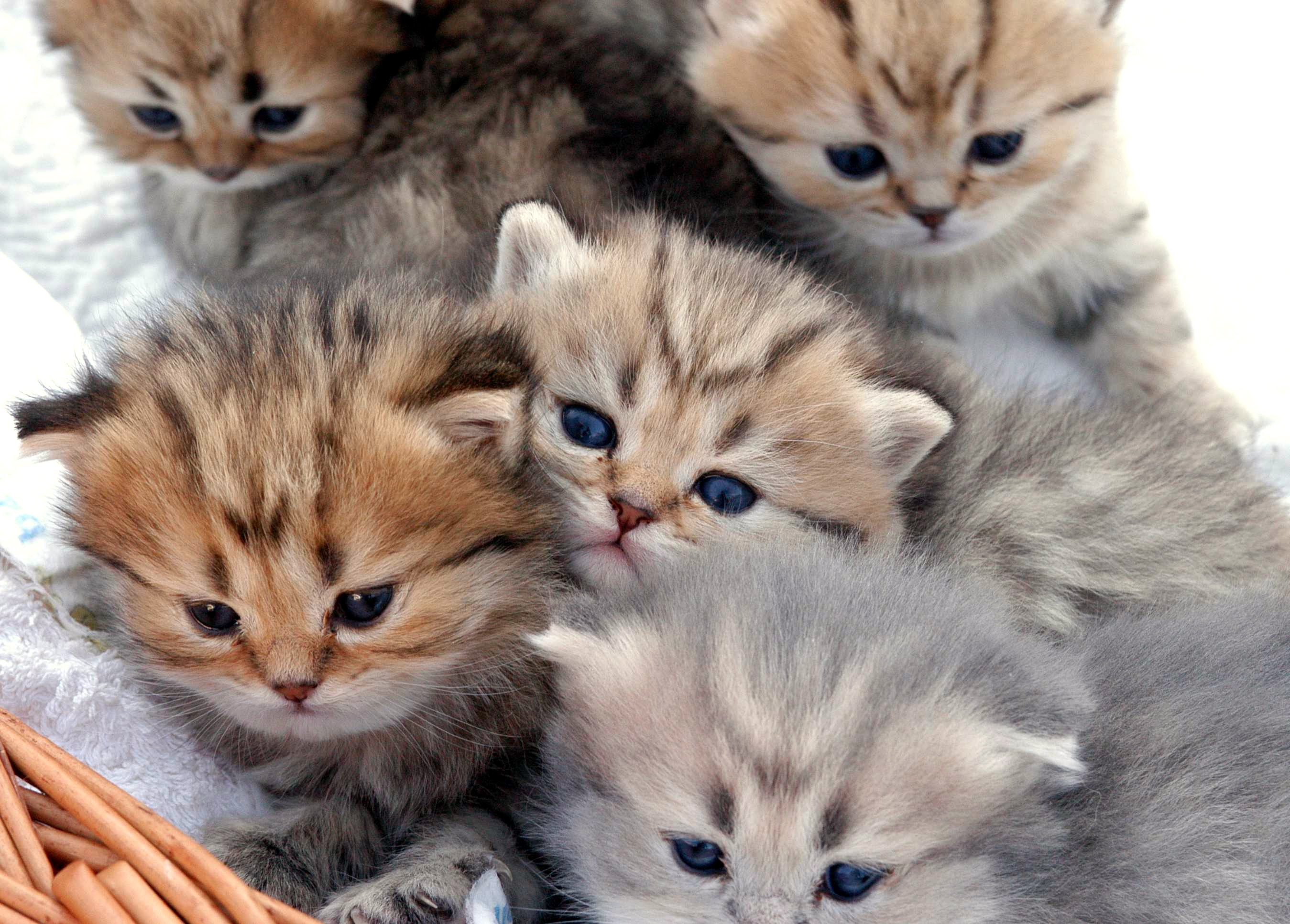 Exotic Longhairs, kittens