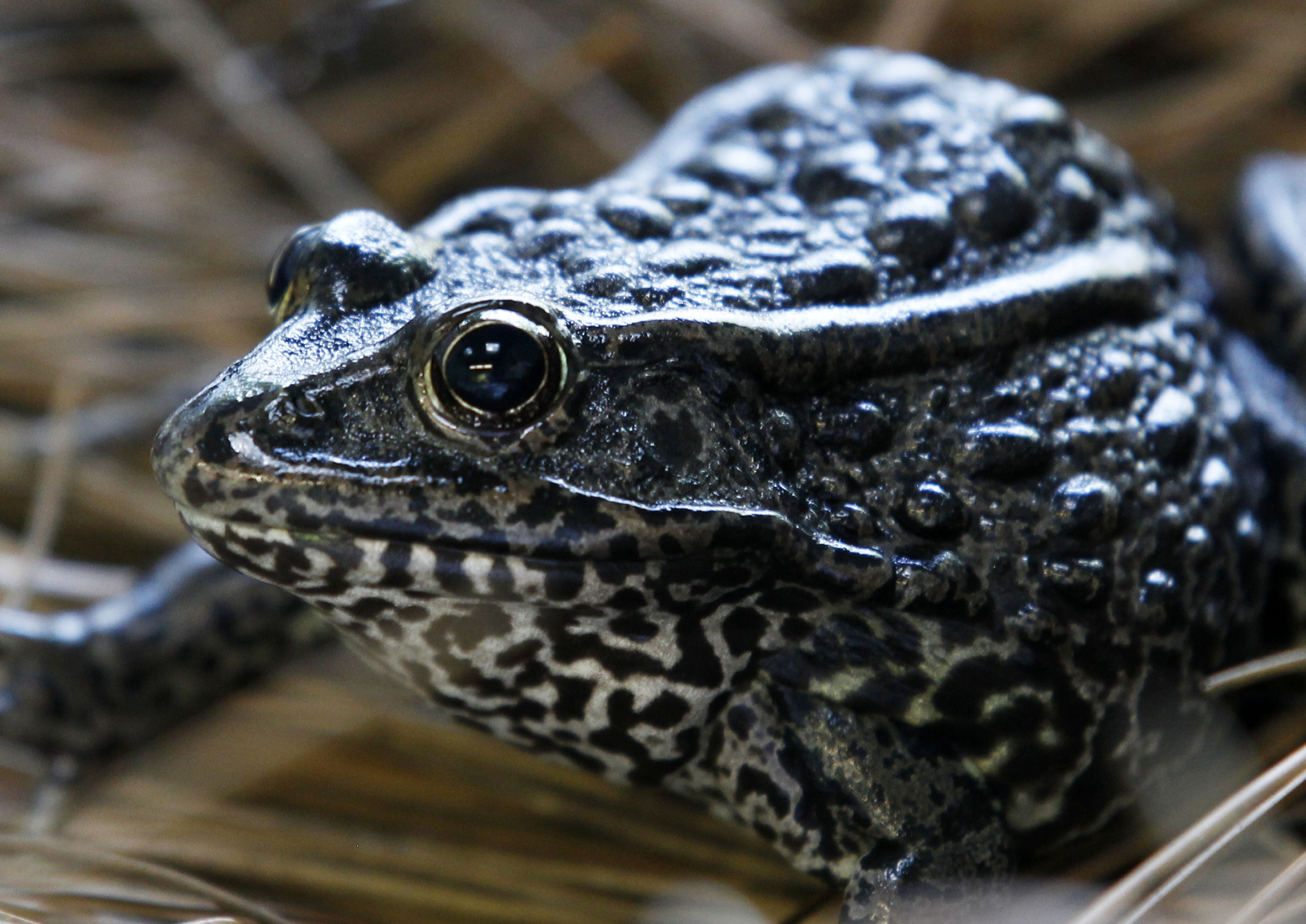 a gopher frog at the Audubon Zoo in New Orleans.