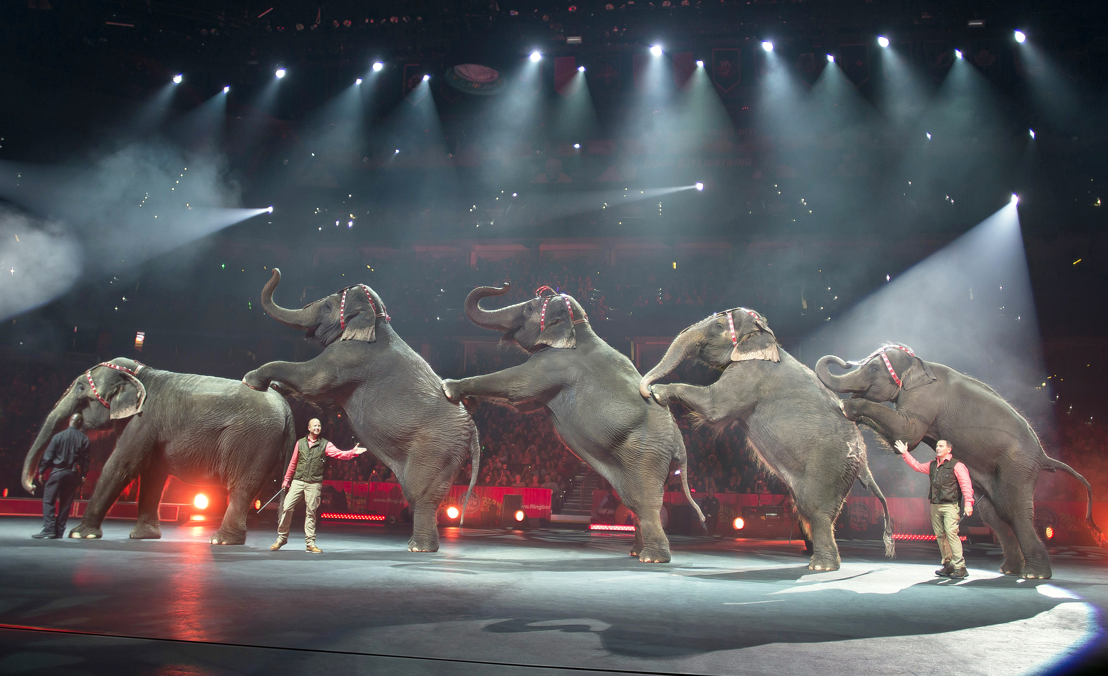 In this Jan. 3, 2015 photo, elephants perform at the Ringling Bros. and Barnum & Bailey Circus, at the Amalie Arena in Tampa, Florida.